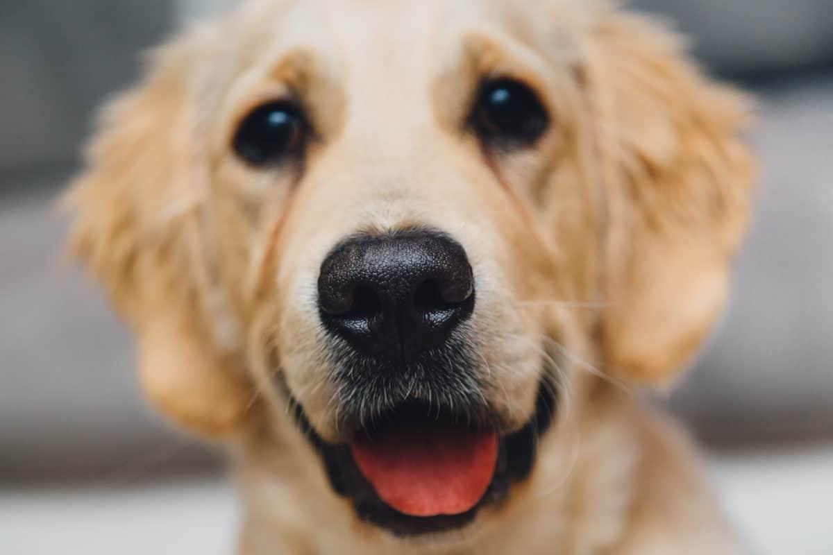chien portrait golden