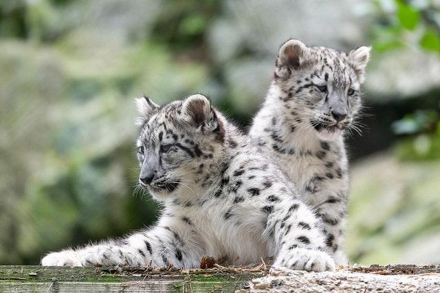 bébés léopard panthère des neiges