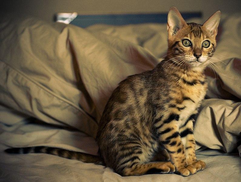 chaton bengal lit