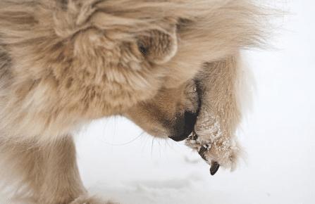 chien lèche patte neige