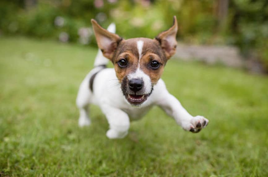 chien jack russell