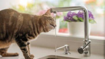 chat boit eau robinet