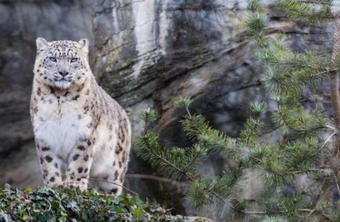 léopard panthère des neiges