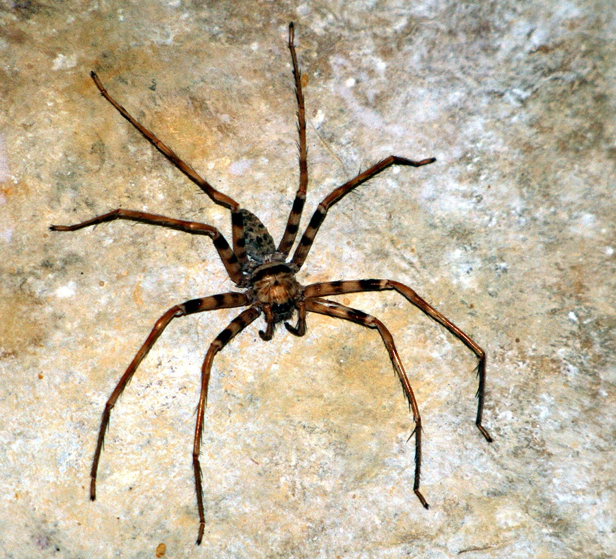 araignée laos