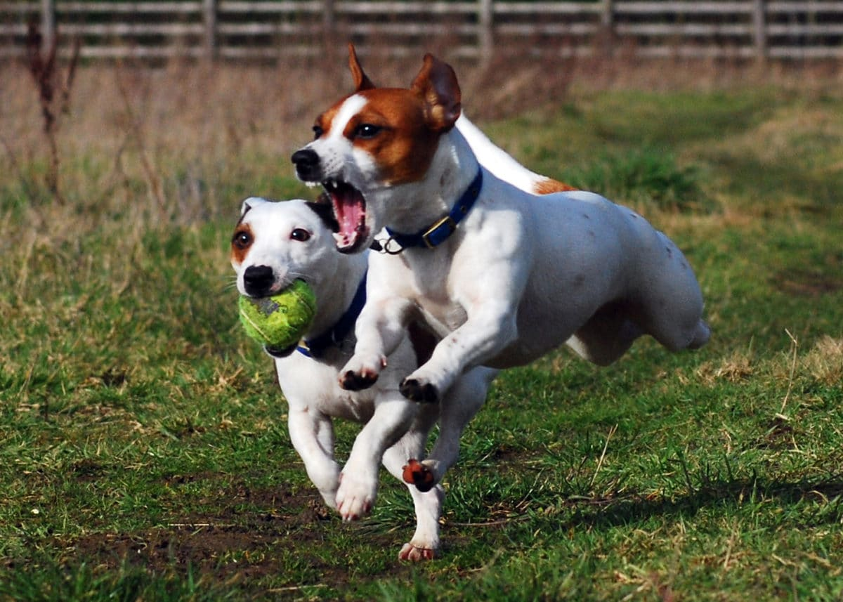 chiens jack russell jouent