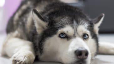 chien husky couché triste