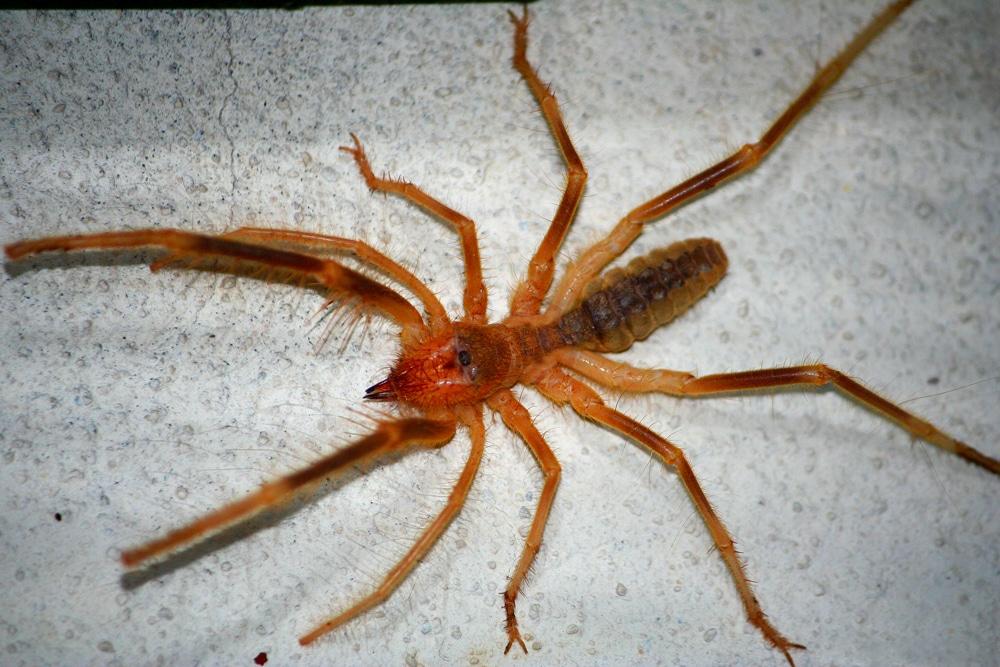 araignée chameau