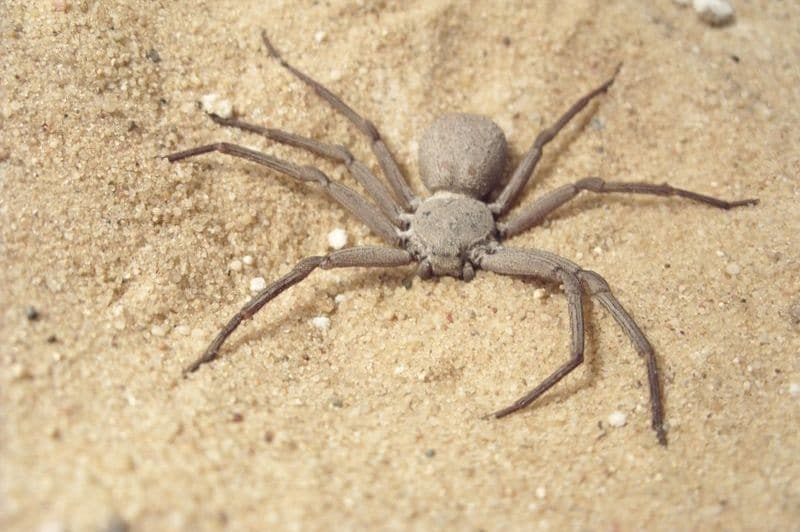araignée des sables