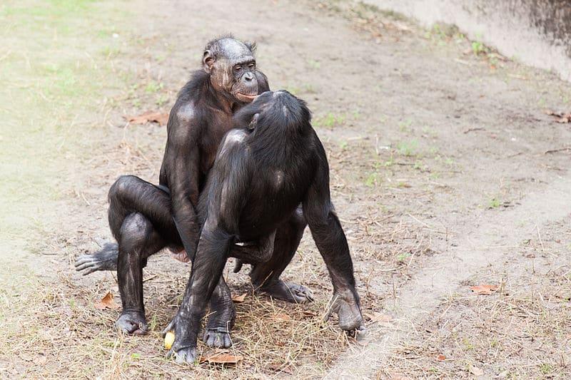 bonobos sexe