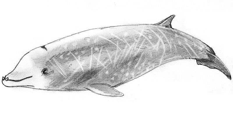 baleine de cuvier