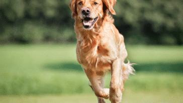 chien court