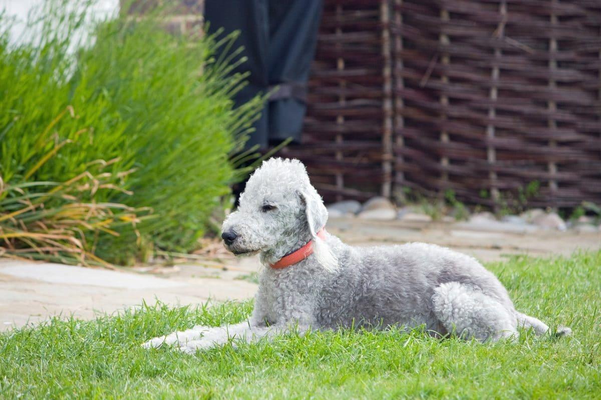 chien bedlington terrier