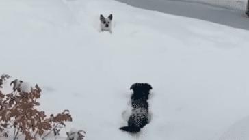 chiens neige
