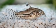 poisson léopard