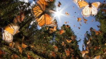 papillons monarques