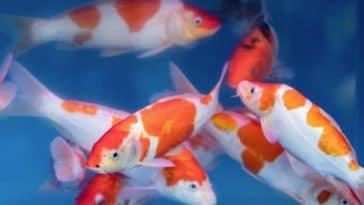 carpes poissons koï