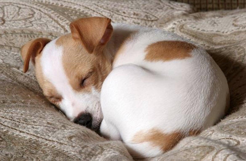 chien dort recroquevillé