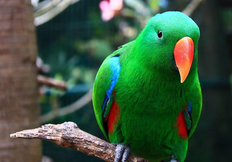 grand eclectus perroquet