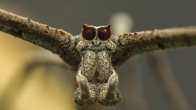 araignée à face d'ogre