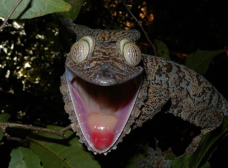 gecko à queue de feuille