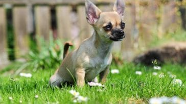 chien pipi herbe