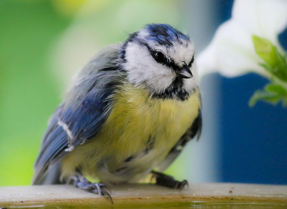 mésange bleue oiseau