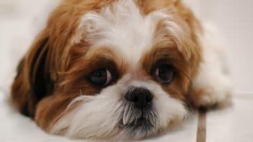chien shih tzu