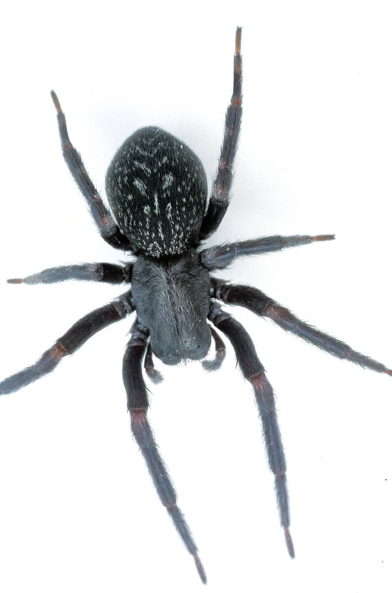 araignée black house