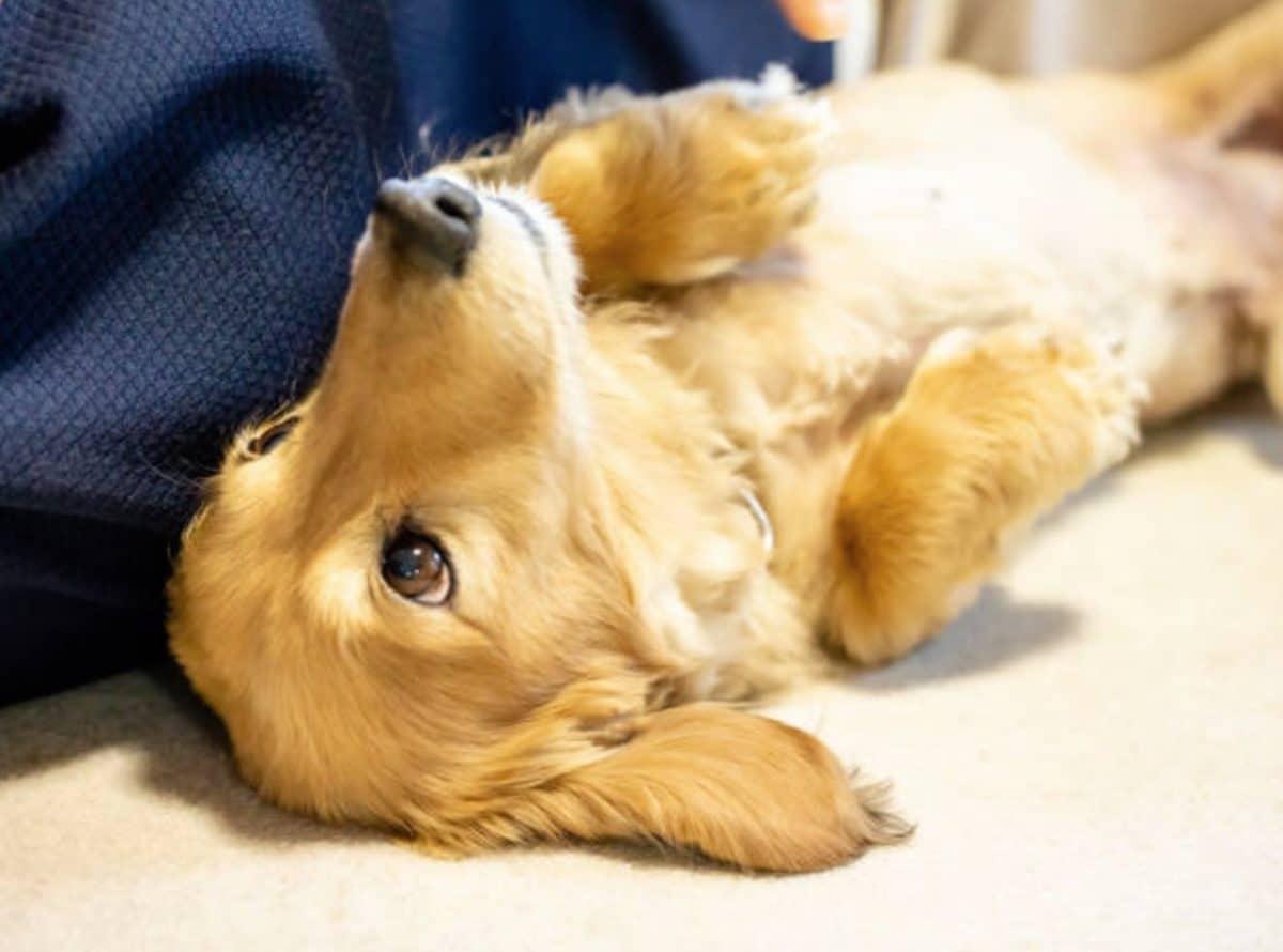 Mon chien a le ventre qui gargouille : dois-je m'inquiéter ?