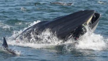 baleine avale homme