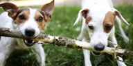 chiens jack russell