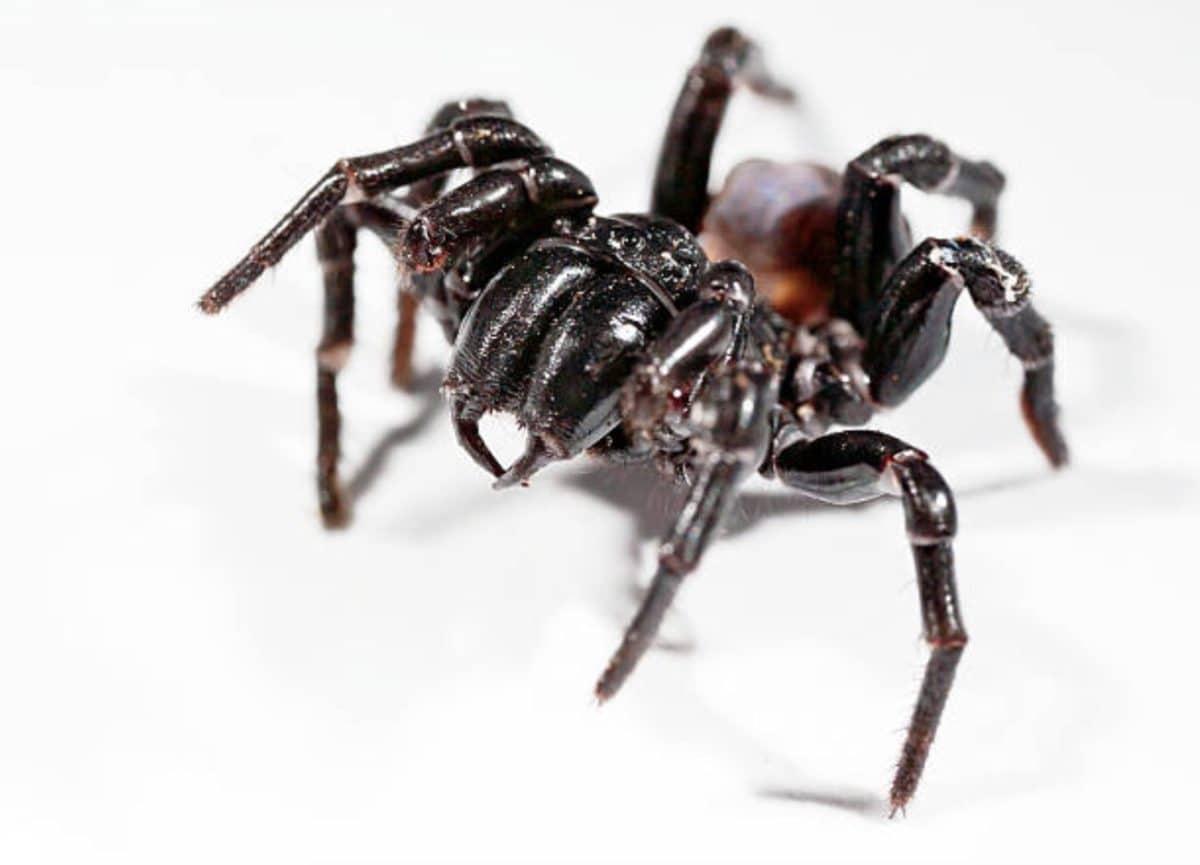 araignée sydney funnel web