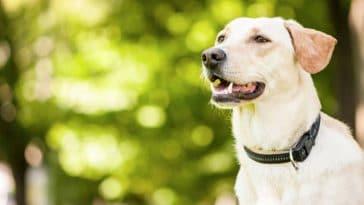 chien collier