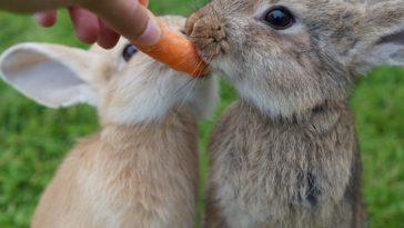 lapin mange carotte