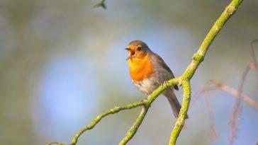 oiseau chante