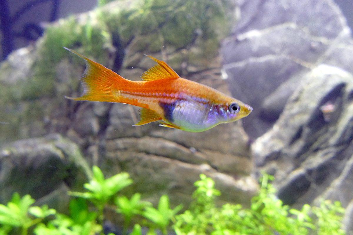 poisson enceinte