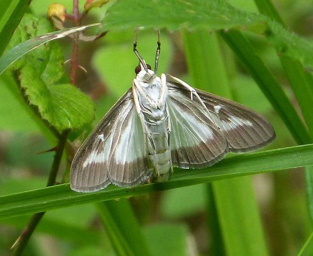 papillon pyrale du buis