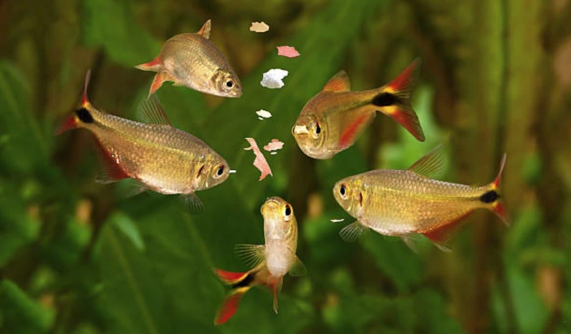 poissons mangent