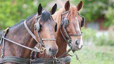 chevaux oeillères