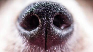 truffe chien