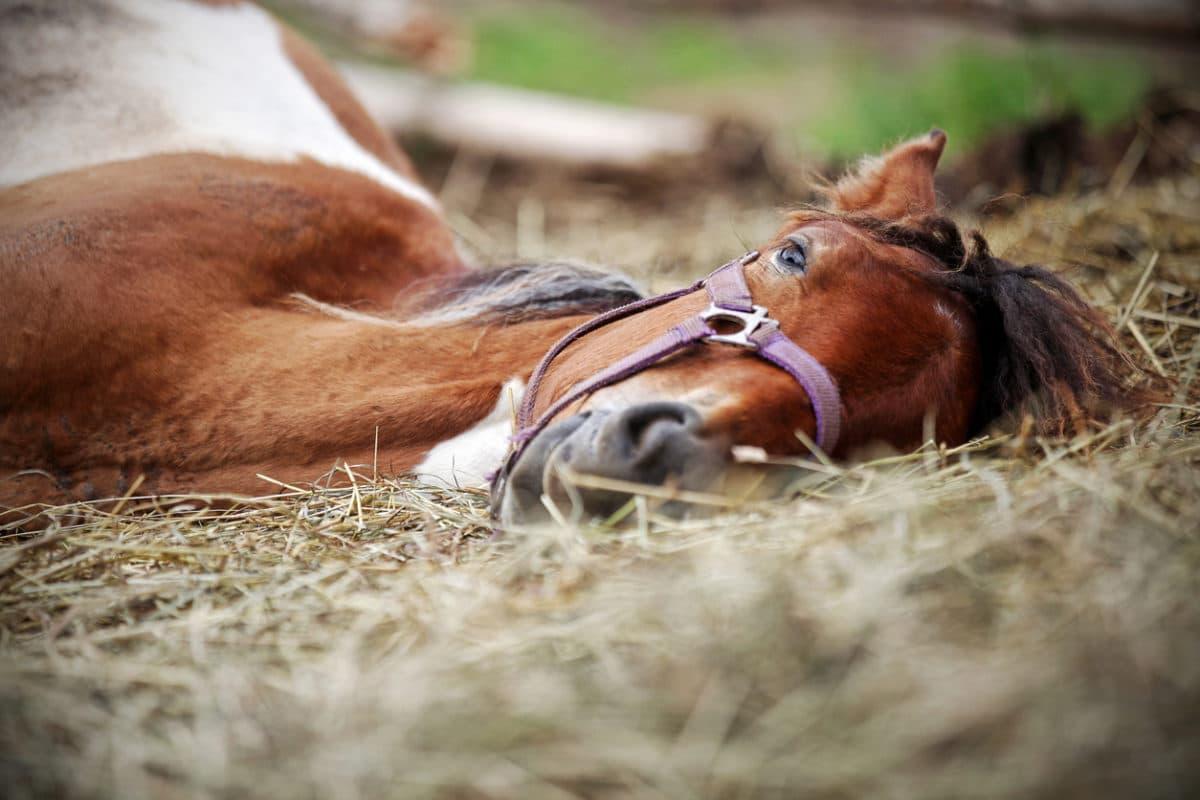 Mon cheval se couche souvent : dois-je m'inquiéter ?