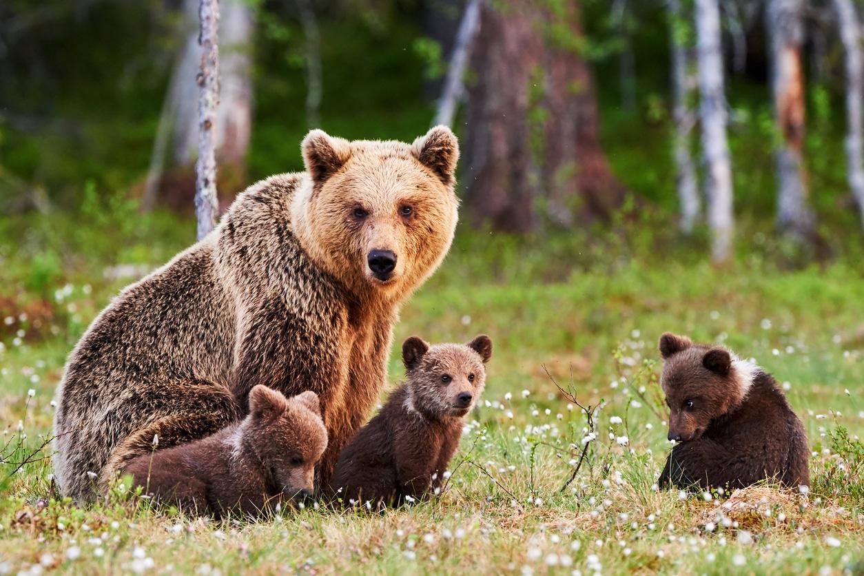 ours et son ourson prairie