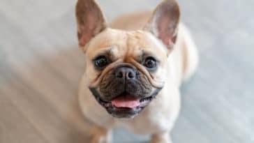 chien bouledogue français