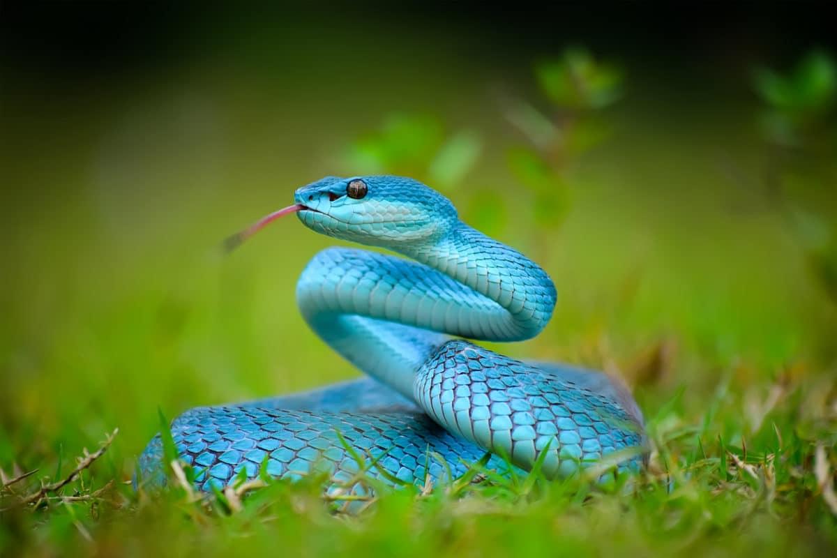 vipère bleue