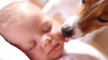 chien lèche bébé