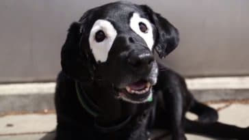 chien vitiligo