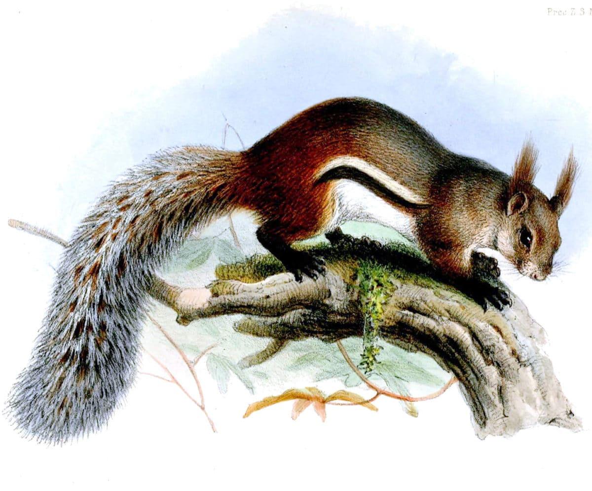 écureuil vampire
