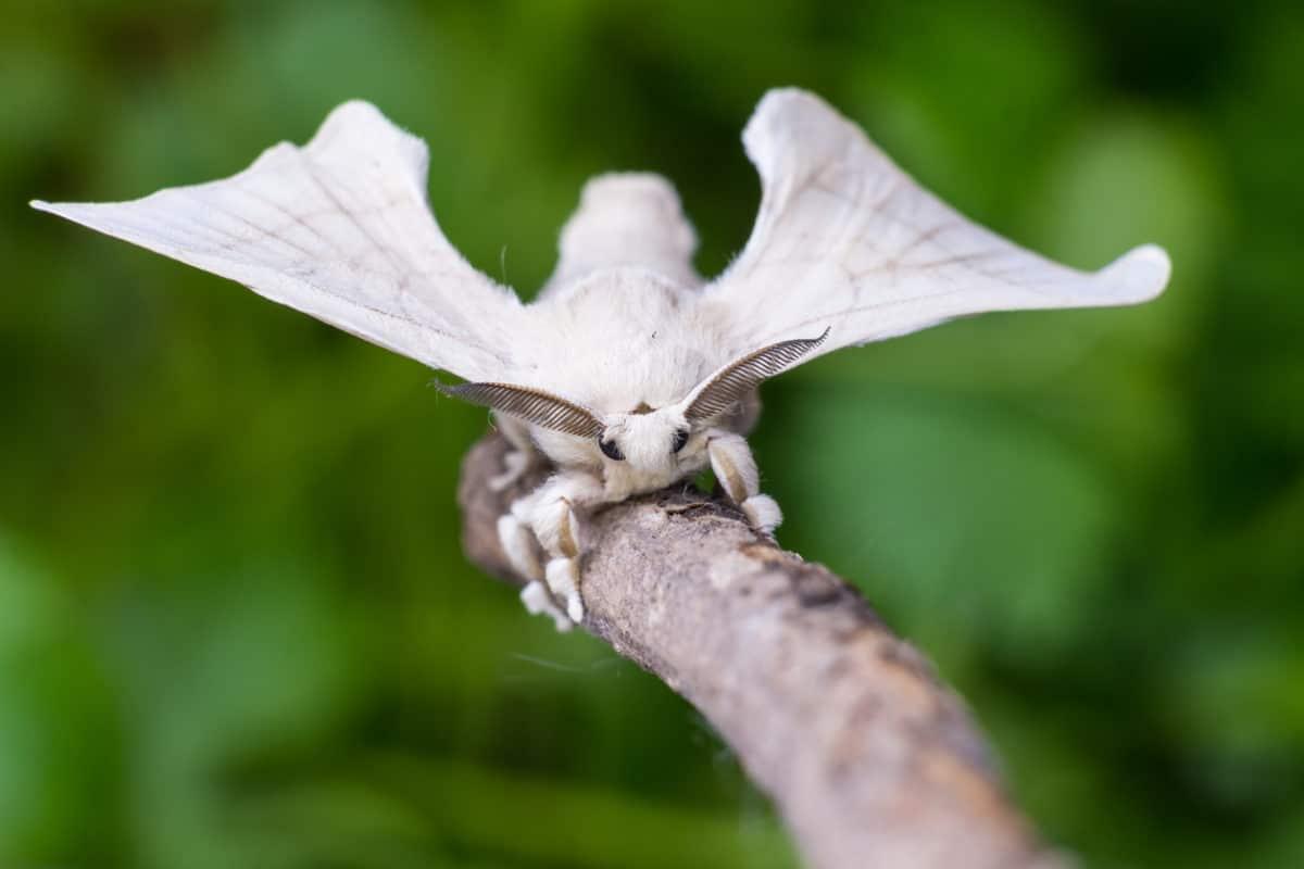 papillon bombyx du mûrier