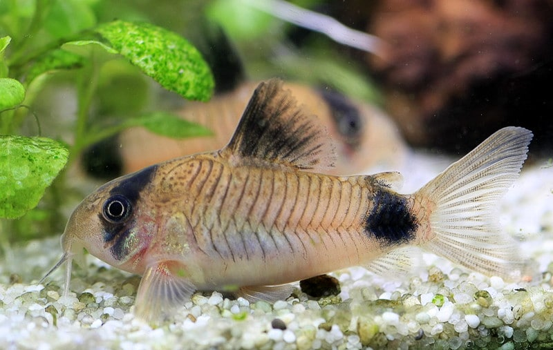 poisson chat corydoras