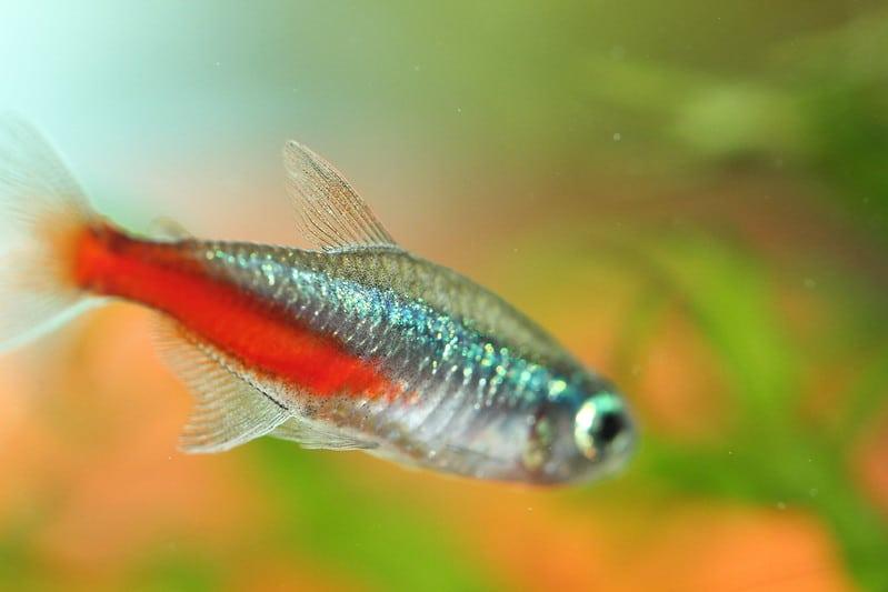 poisson néon tétra